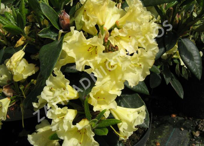 Pěnišník 'Saffrano' - Rhododendron (T) 'Saffrano'