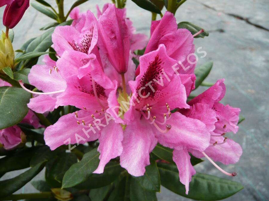 Pěnišník 'Cosmopolitan' - Rhododendron (T) 'Cosmopolitan'