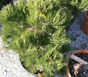 Borovice bělokorá 'Compact Gem' - Pinus heldreichii 'Compact Gem'