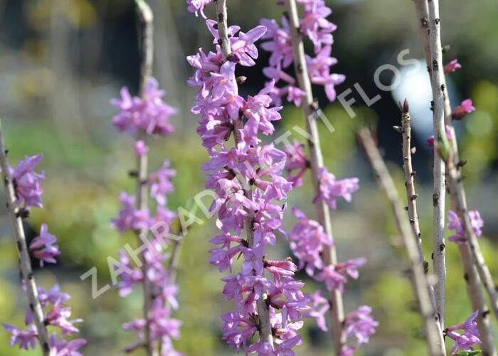 Lýkovec jedovatý 'Rubra' - Daphne mezereum 'Rubra'