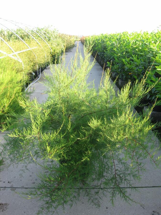 Tamaryšek malokvětý - Tamarix parviflora