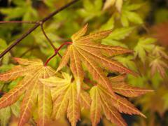 Javor shirasawanský 'Autumn Moon' - Acer shirasawanum 'Autumn Moon'