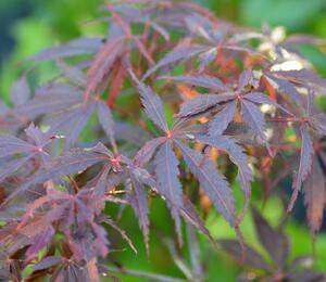 Javor dlanitolistý 'Burgundy Lace' - Acer palmatum 'Burgundy Lace'