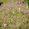 Plamenka 'Rosea' - Phlox procumbens 'Rosea'