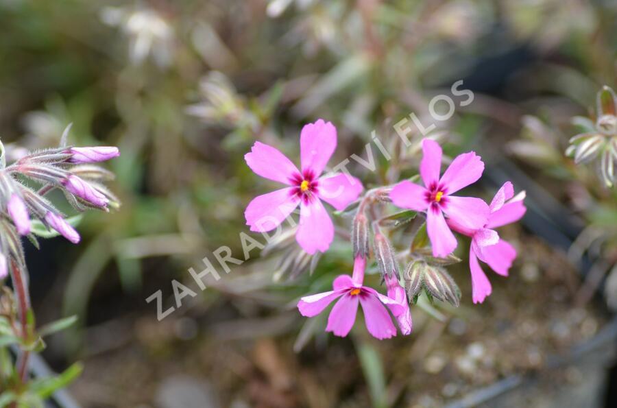 Plamenka šídlovitá 'Temiskaming' - Phlox subulata 'Temiskaming'