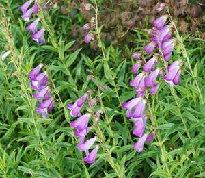 Dračík 'Alice Hindley' - Penstemon 'Alice Hindley'