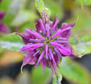 Zavinutka 'Prärienacht' - Monarda hybrida 'Prärienacht'