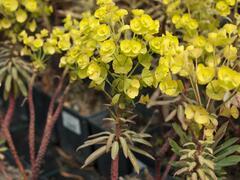 Pryšec 'Charam' (Redwing) - Euphorbia 'Charam' (Redwing)