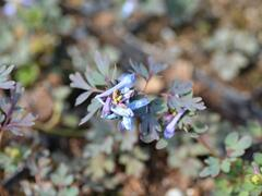 Dymnivka 'Purple Leaf' - Corydalis flexuosa 'Purple Leaf'