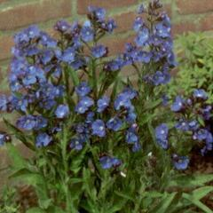 Pilát modrý 'Loddon Royalist' - Anchusa azurea 'Loddon Royalist'