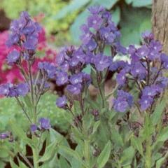 Pilát modrý 'Dropmore' - Anchusa azurea 'Dropmore'
