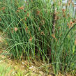 Skřípinec jezerní - Scirpus lacustris