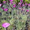 Hvozdík sivý 'Feuerhexe' - Dianthus gratianopolitanus 'Feuerhexe'