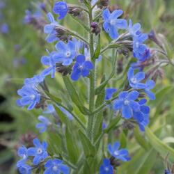 Pilát modrý 'Little John' - Anchusa azurea 'Little John'