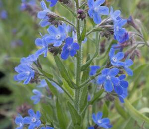 Pilát modrý 'Little John' - Anchusa azurea 'Little John'