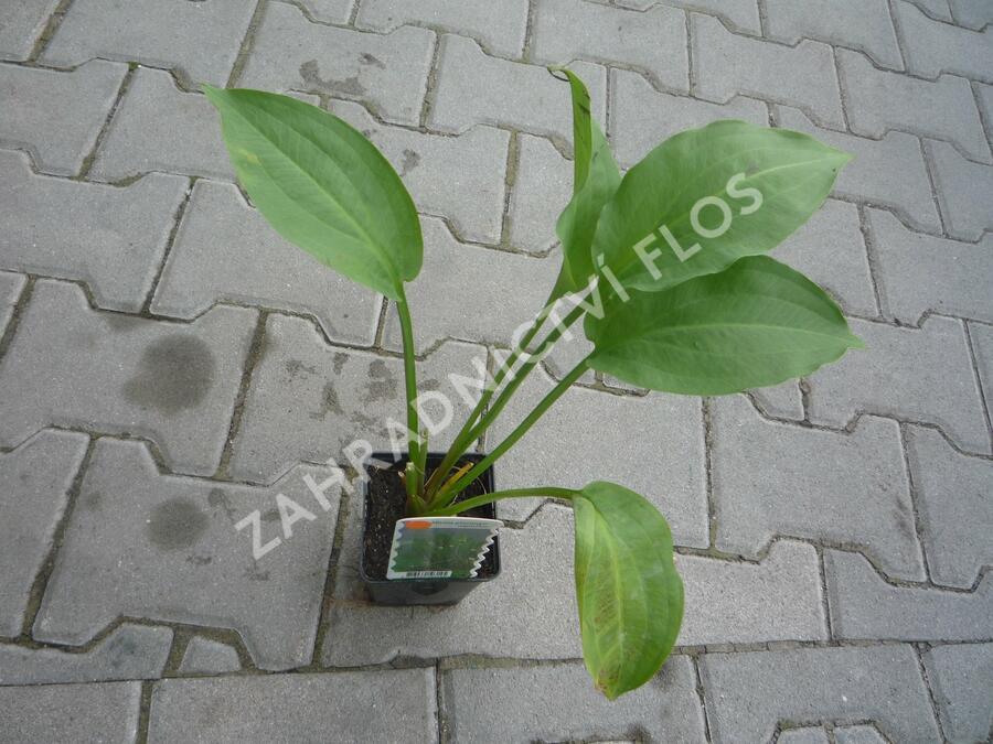 Žabník jitrocelový - Alisma plantago-aquatica
