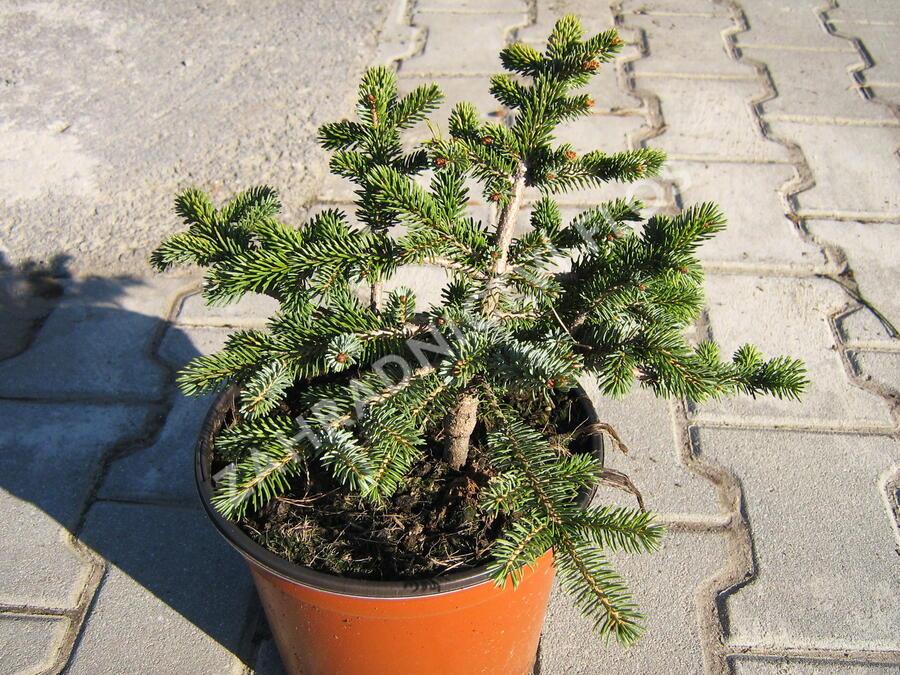 Smrk 'Machala' - Picea mariorika 'Machala'