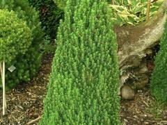 Smrk sivý 'Laurin' - Picea glauca 'Laurin'