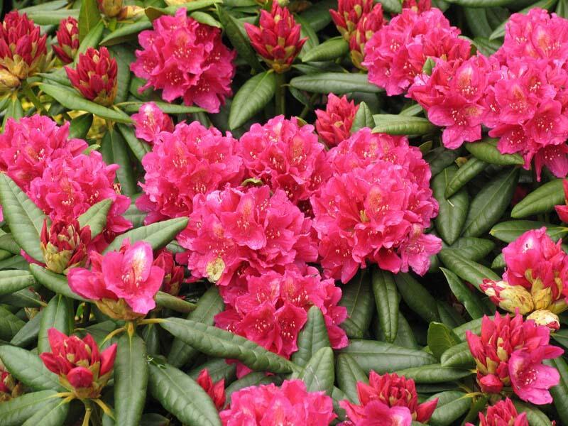 Pěnišník 'Mrs P. den Ouden' - Rhododendron (T) 'Mrs P. den Ouden'