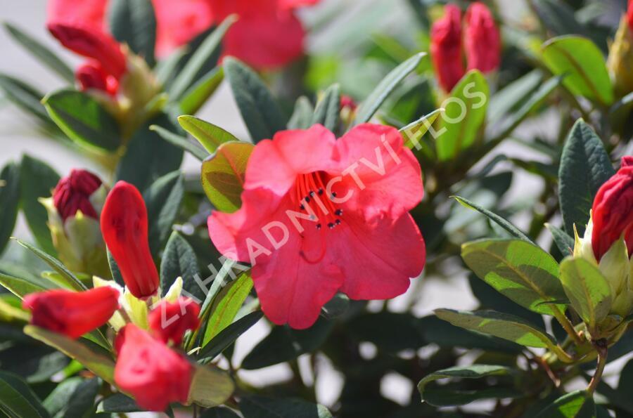 Pěnišník 'Elizabeth' - Rhododendron (R) 'Elizabeth'