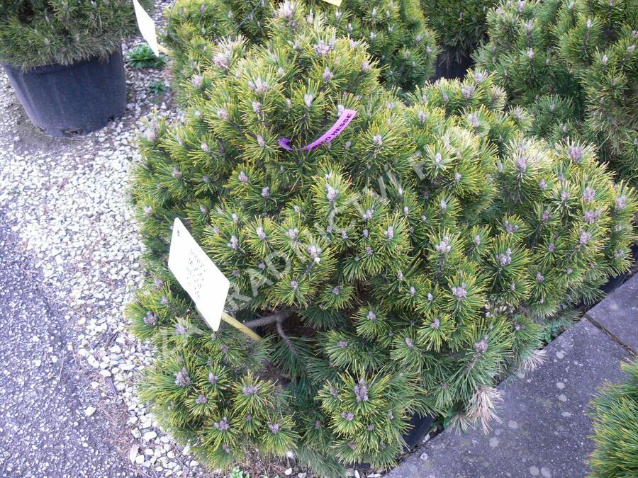 Borovice kleč 'Hesse' - Pinus mugo 'Hesse'
