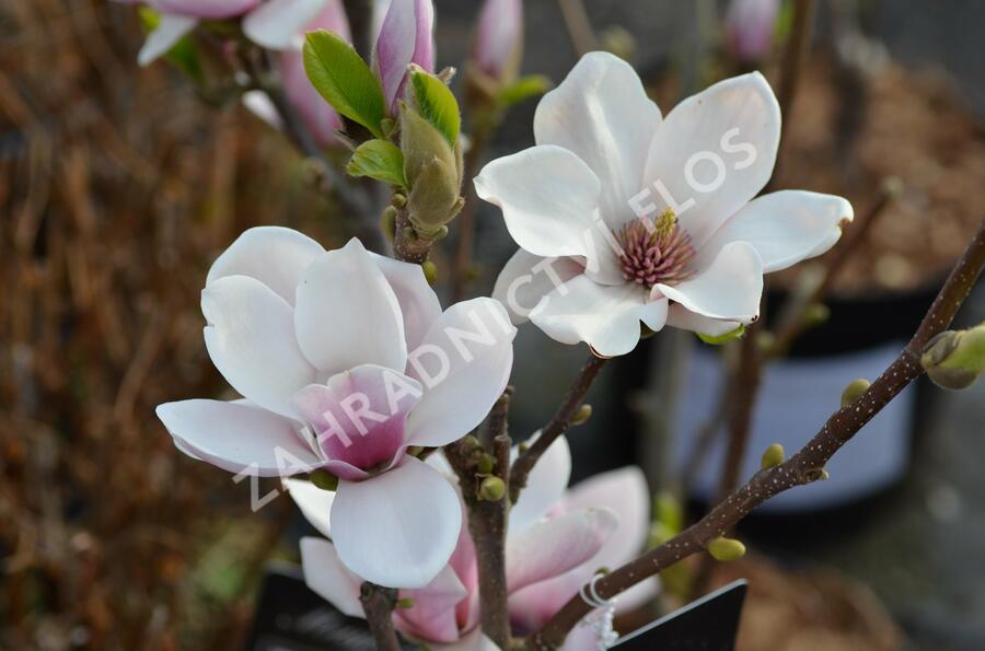 Šácholan Soulangeanův 'Satisfaction' - Magnolia soulangeana 'Satisfaction'