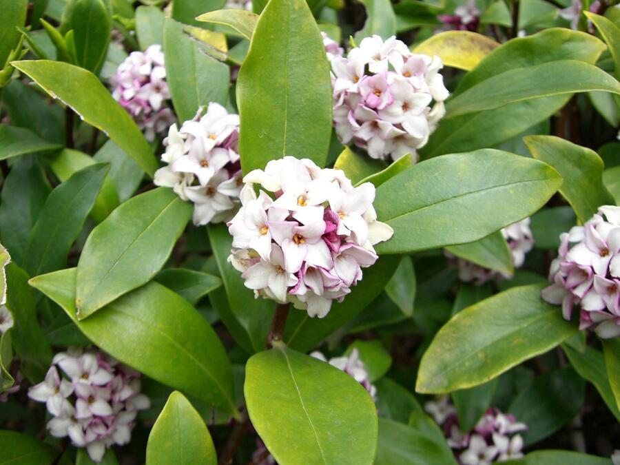 Lýkovec - Daphne odora