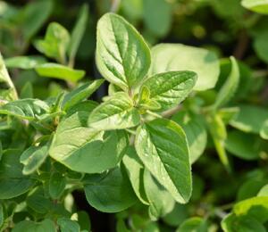 Majoránka zahradní 'Esperanta' - Origanum majorana 'Esperanta'
