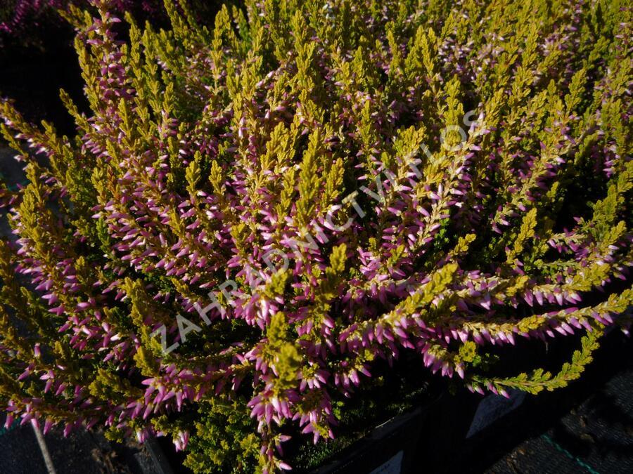 Vřes obecný 'Pink Alicia' (Garden girls®) - Calluna vulgaris 'Theresa' (Garden girls®)