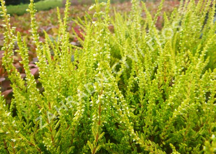 Vřes obecný 'Sandy' - Calluna vulgaris 'Sandy'