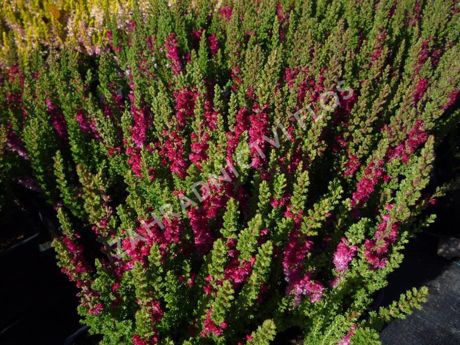 Vřes obecný 'Dark Beauty' - Calluna vulgaris 'Dark Beauty'
