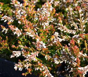 Vřes obecný 'Bonita' - Calluna vulgaris 'Bonita'