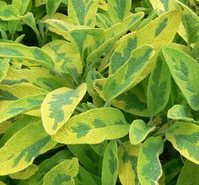 Šalvěj lékařská 'Icterina' - Salvia officinalis 'Icterina'