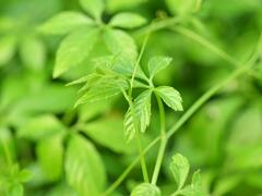 Ženšen pětilistý 'Jiaogulan' - Gynostemma pentaphyllum 'Jiaogulan'