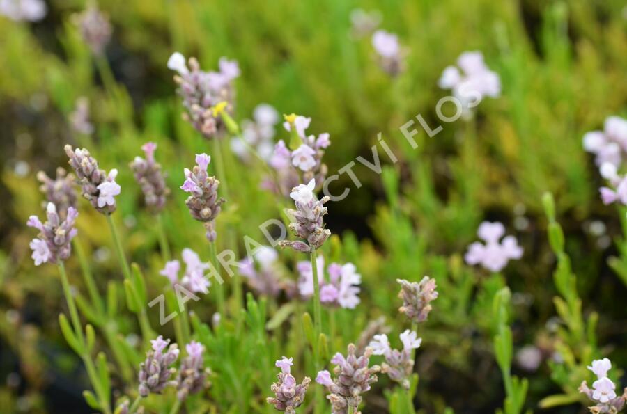 Levandule úzkolistá 'Ellagance Pink' - Lavandula angustifolia 'Ellagance Pink'
