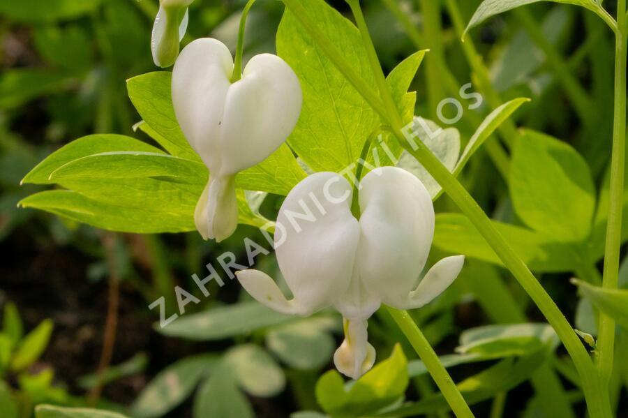 Srdcovka nádherná 'Alba' - Dicentra spectabilis 'Alba'