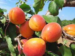 Meruňka velmi raná 'Leskora' - Prunus armeniaca 'Leskora'