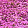 Huseník kavkazský 'Little Treasure Deep Rose' - Arabis caucasica 'Little Treasure Deep Rose'