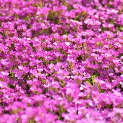 Huseník kavkazský 'Little Treasure Deep Rose' - Arabis caucasica 'Little Treasure Deep Rose'