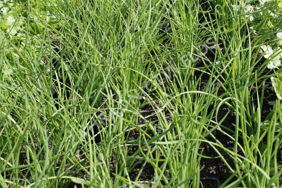 Pažitka čínská 'Neko' - Allium tuberosum 'Neko'