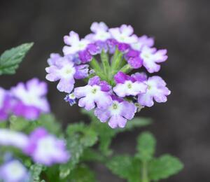 Verbena, sporýš 'Tricolor II' - Verbena 'Tricolor II'