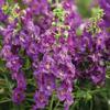 Angelonie úzkolistá 'Angel Mist Purple' - Angelonia angustifolia 'Angel Mist Purple'