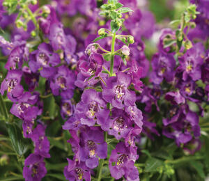 Angelonie úzkolistá 'Angel Mist Purple' - Angelonia angustifolia 'Angel Mist Purple'