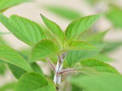 Šalvěj ananasová 'Pino' - Salvia rutilans 'Pino'