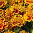 Aksamitník rozkladitý, afrikán 'Texana Yellow Fire' - Tagetes patula 'Texana Yellow Fire'