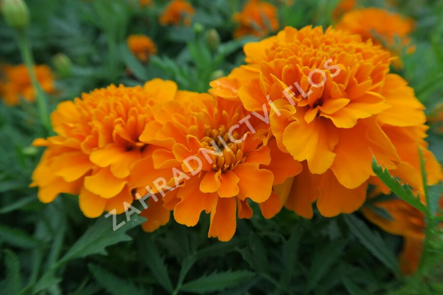 Aksamitník rozkladitý, afrikán 'Texana Orange' - Tagetes patula 'Texana Orange'