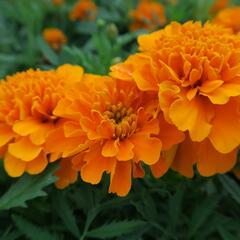Aksamitník rozkladitý, afrikán 'Texana Orange' - Tagetes patula 'Texana Orange'