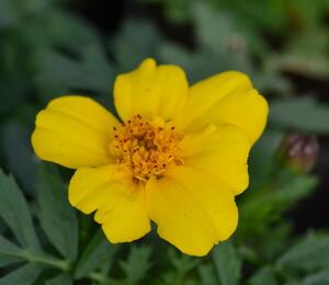 Aksamitník rozkladitý, afrikán 'Solena Yellow' - Tagetes patula 'Solena Yellow'
