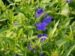 Lobelka 'Riviera Midnight Blue' - Lobelia erinus 'Riviera Midnight Blue'