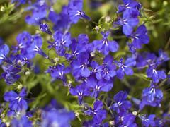 Lobelka 'Riviera Marine Blue' - Lobelia erinus 'Riviera Marine Blue'